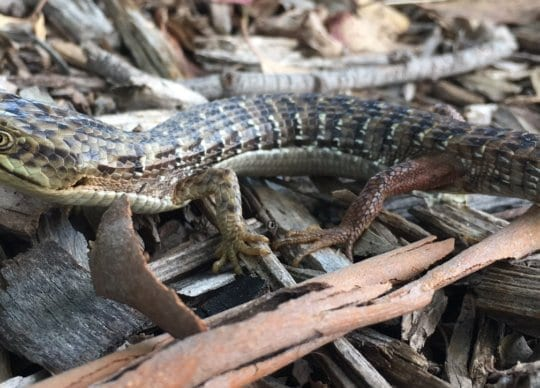 California alligator lizard