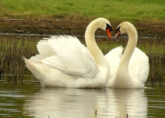 Image result for mute swan